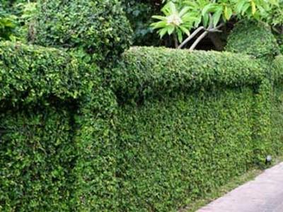 Tanaman Untuk dijadikan pagar rumah