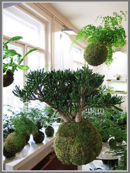 uniknya koleksi tanaman kekinian kokedama. Black Bedroom Furniture Sets. Home Design Ideas